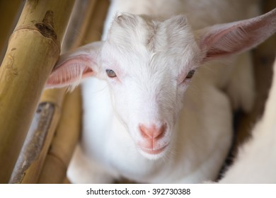 white baby goat face with bamboo fence