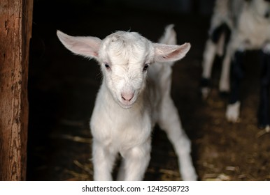 White baby goat standing on a farm with black bokeh background.