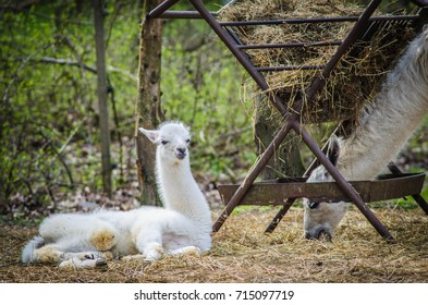 White baby lama with his mother at the zoo (lama gama)