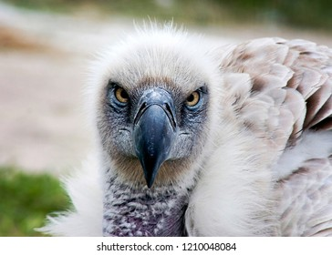 White backed Vulture up close in the face