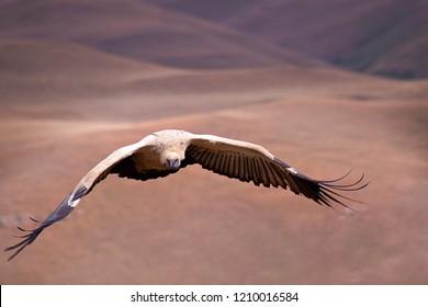 White backed vulture, Kwazulu Natal,  South Africa