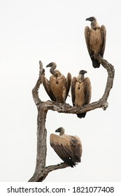 White Backed Vultures perched on a tree near a buffalo carcass in South Africa