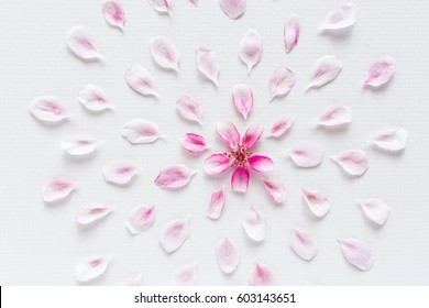 white background filled with round pattern of sakura flowers. Concept of love and spring. flat lay. top view. the fresh pink petals of sakura lying around on white background.