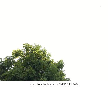 White background and the Golden Shower Tree (Cassia fistula) in July before blooming time of yellow flowers. The picture was taken in Ubon Ratchathani, Thailand, Southeast Asia.