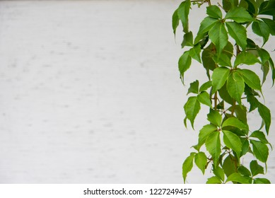 White Background with Green Vine