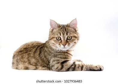 White Background Pet Chinas Cats Tabby Cats