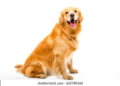 White background shot golden dog