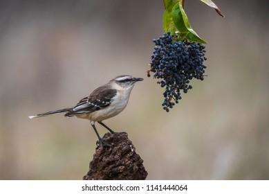 White Banded Mockingbird Patagonia Argentina