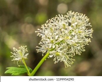 White baneberry flower macro with copy space