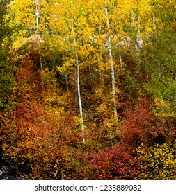 White bark of Quaking Aspens are surrounded on a hillside of fall colors of red, yellow and some trees that are still green on an Autumn morning.
