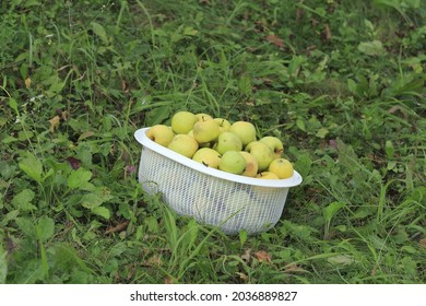 White basket full of green and yellow apples, on the grass. Autumn goods are ready for harvesting.