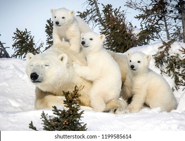 White bear with cubs