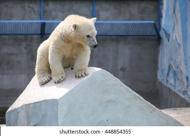 white bear with her cub at the zoo NOVOSIBIRSK, RUSSIA, JULY 7, 2016
