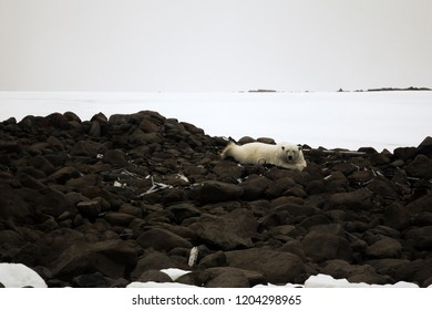White bear is located on remains of equipment of Ziegler expedition to North pole which is 110 years. Male bear lying on belly like man (landlord). Rudolf Island. Franz Joseph Land