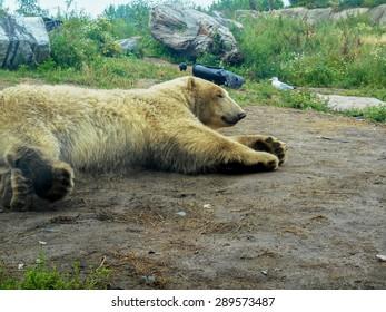 White Bear lying on the ground