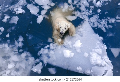 White bear in the sea, swims among the ice, swimming in the ice