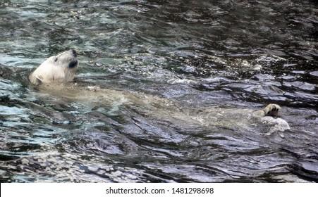 White bear in the water swim backstroke. Polar bear relax