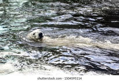 A white bear in the water swim backstroke. Polar bear relax in water.