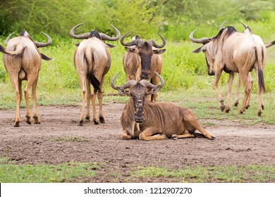 White Bearded Wildebeest, Brindled gnu,  Antelope with beautiful horns at Serengeti National Park, Tanzania, East Africa