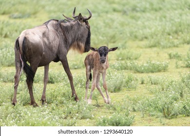 White Bearded Wildebeest on the Serengeti Plains of Tanzania Africa