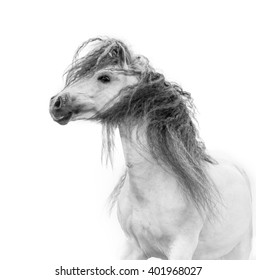 white beautiful andalusian horse with long mane portrait isolated on white