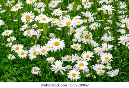 white beautiful daisies on a field in green grass in summer