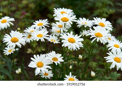 White beautiful daisies on a field in green grass in summer. Oxeye daisy, Leucanthemum vulgare, Daisies, Dox-eye, Common daisy, Dog daisy, Moon daisy. Gardening concept