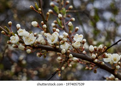 White beautiful flowers in the tree blooming in the early spring, backgroung blured. High quality photo