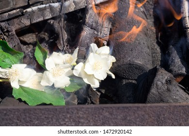 white beautiful and fragrant jasmine flowers close up during flowering, spring May flowers in nature burnt by flame and fire in a fire burning in trees