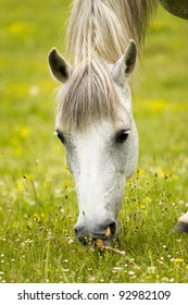 white beautiful horse is grazing on the green spring field