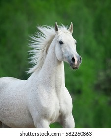 white beautiful horse portrait on green background