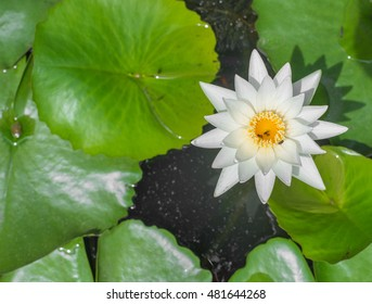 White beautiful lotus floating on the water