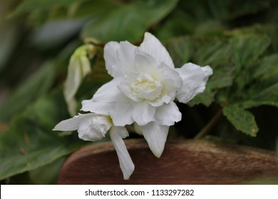 white begonia flowers