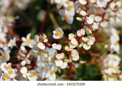 White begonia flowers in a closeup photo taken with a macro lens in the island of Madeira, Portugal. Beautiful blooming flowers and plenty of green leaves on the background. Color image.