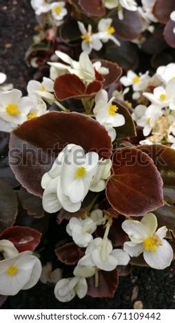White begonia flowers dark purple leaves stock photo edit now white begonia flowers with dark purple leaves mightylinksfo