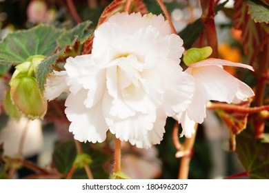 White Begonia in a garden