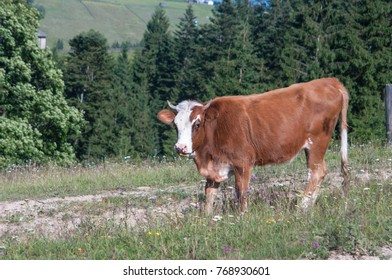 A white and beige cow is grazing grass in a small detrached village Carpathian mountains resort. It will give an organic milk for local people and travellers.