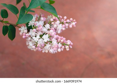 White and beige lilac branches variety Krasavitsa Moskvy on pink background, copyspace, selective focus, Women's, Mother's Day, Victory Day postcard concept