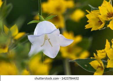 A White Bell Flower framed by yellow Gilblower Flowers. Campanula persicifolia and Lysimachia Punctata.