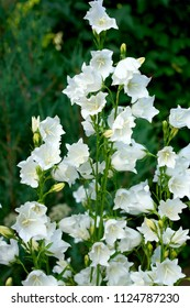 White bell flowers (Campanula persicifolia) as background. Colorful campanula bell flowers in flowerbed. Bell flowers or Campanula growing in garden on blurred green background. Gentle bell flower
