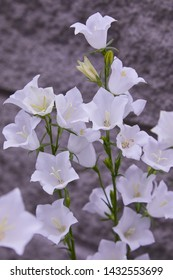 White bell flowers (Campanula persicifolia) as background. Colorful campanula bell flowers in flowerbed. Bell flowers or Campanula growing in garden on blurred grey background. Gentle bell flower