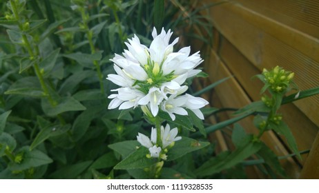 White Bellflower or Campanula glomerata alba, Campanulaceae family. Natural colorful image. Floral background. Gardening concept. Perennial plant. Isolated