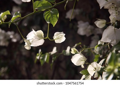 White bell-flowers, close-up