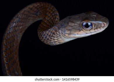 White bellied rat snake (Ptyas fusca)