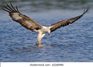 A white bellied sea eagle attacking a fish in the water