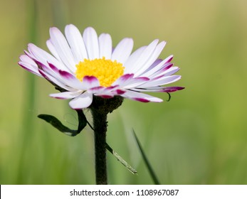 White bellis perennis, common European species of daisy, of the Asteraceae family.