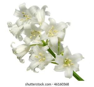 white bells blossoms isolated on white with room for text