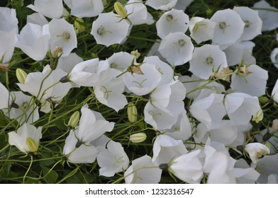 A lot of White bell-shaped flowers of campanula carpatica jacq. (The tussock bellflower or Carpathian harebell) background
