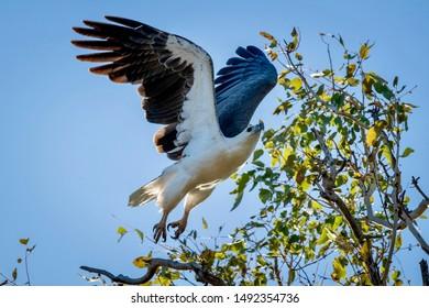 White Belly Sea Eagle taking flight