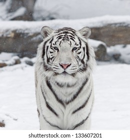 A white bengal cat among snowflakes.